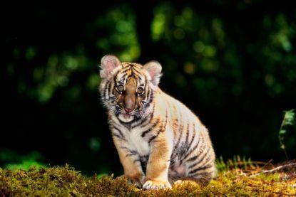 """""""Een mirakel"""": nieuwe populatie van bijna uitgestorven tijgers ontdekt"""