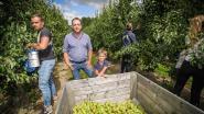 """Wellense burgemeester Els Robeyns (sp.a) waarschuwt: """"Fruittelers zijn niet klaar voor opvang seizoenarbeiders"""""""
