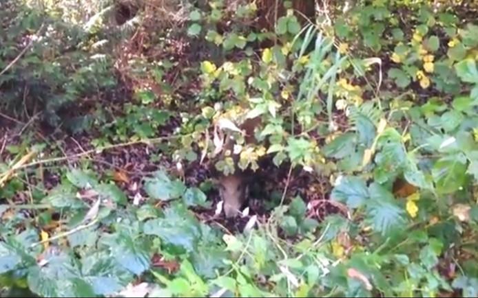 In het midden: Eén van de zwijnen aan het rondspeuren in de bossen.