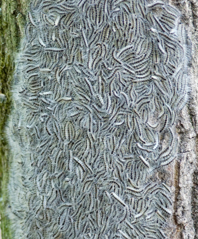 Het probleem met de rups is extra groot, omdat de diertjes, die normaal hoog in de eikenbomen zitten, door de hitte naar beneden zijn gekropen.