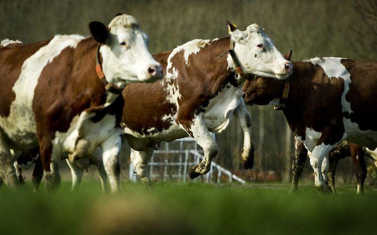 Koeien van een biologische boer mogen voor het eerst weer in de wei. Beeld ANP