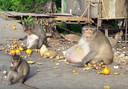 De enorme makaak.