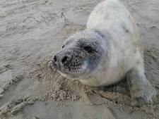 Eerste dode grijze zeehondenpup geborgen