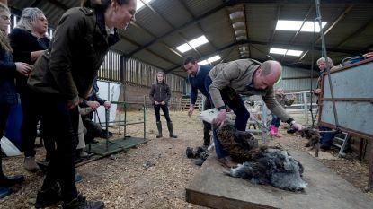 Aan het werk gezet: Kate en William leren schapen scheren
