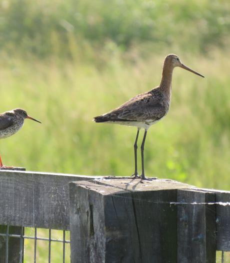 Water wordt de natuur in gepompt om weidevogels aan te kunnen trekken