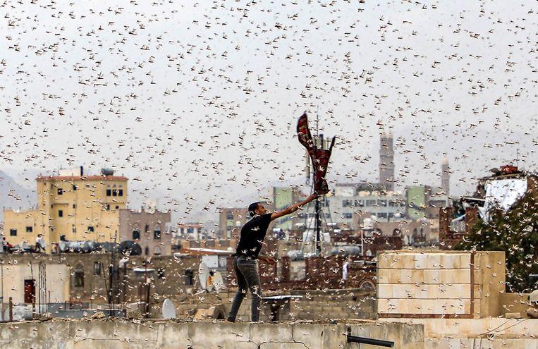 Een man probeert, staand op een dak in de Jemenitische hoofdstad Sanaa, sprinkhanen te vangen. Beeld AFP