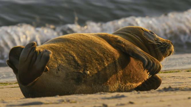 Zeehondenparty in Oostende