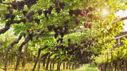 Mogelijk topjaar voor Belgische wijnen, maar opletten voor slechter weer in augustus