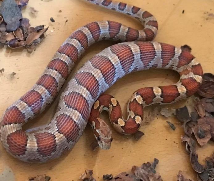 De slang die aan de Dalemsedijk werd gevonden.