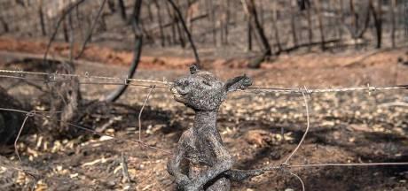 """La photo choquante d'un kangourou carbonisé: """"C'est la triste réalité"""""""