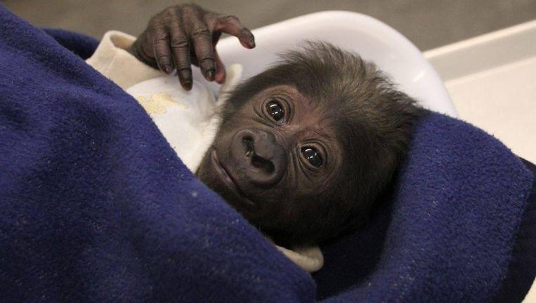 De kleine Yanga in de armen van een verzorger van de zoo van Hannover.