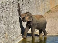La famille des éléphants d'Asie de Pairi Daiza va encore s'agrandir