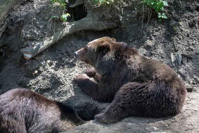 Beren in het Berenbos in Rhenen.