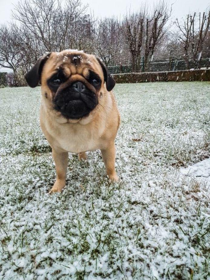 Mopshond Oda van lezer Guillaume Van den Berghe geniet van de sneeuw.