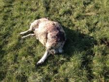 Wolf penetreerde tot in polder Hoogland-West