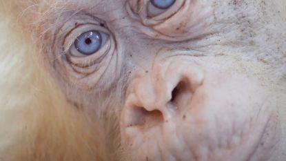 Geredde witte orang-oetan Alba mag naar haar eigen oerwoudeilandje