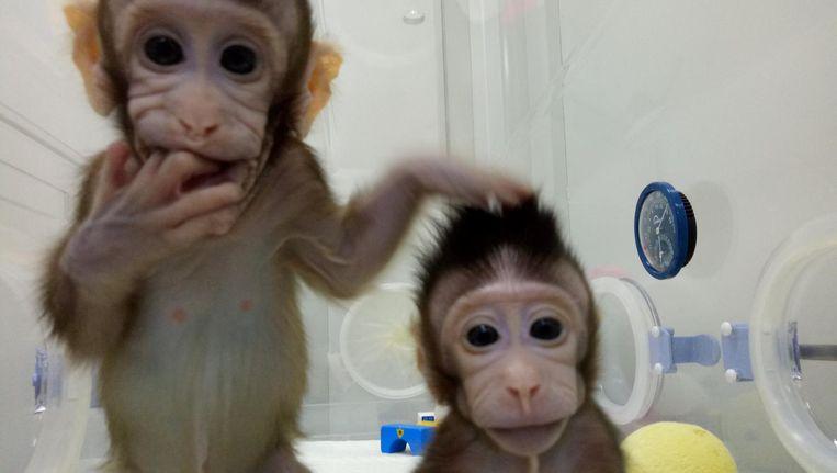 De gekloonde aapjes Zhong Zhong en Hua Hua. Beeld REUTERS