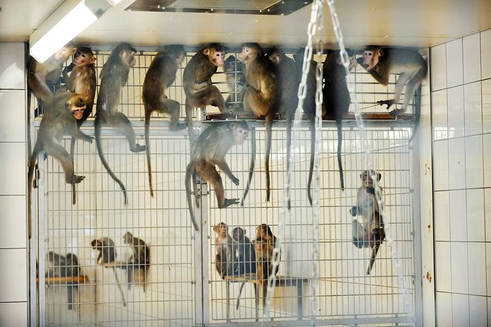 Apen in een kooi bij handelaar Hartelust aan de Kapelmeesterlaan in Tilburg.
