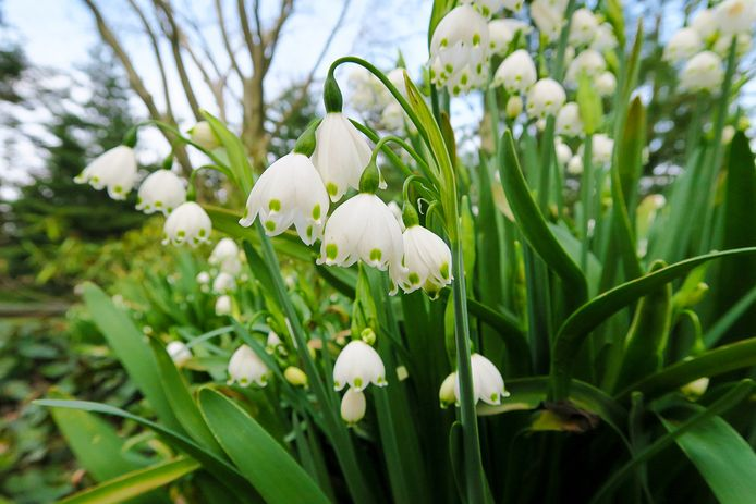 Leucojum aestivum zomerklokje is een 'vochtminnaar'. De naam is misleidend, want de bol bloeit in april.