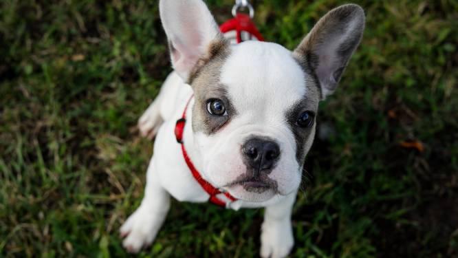 Hondenhater vergiftigt vijf dieren van jonge vrouw uit Hooglede