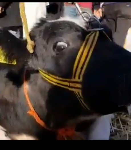 Verontwaardiging over 'dierenleed' op Leste Mert