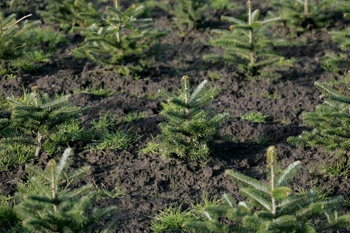 Kerstbomen bij een kwekerij in Noord-Brabant, foto ter illustratie
