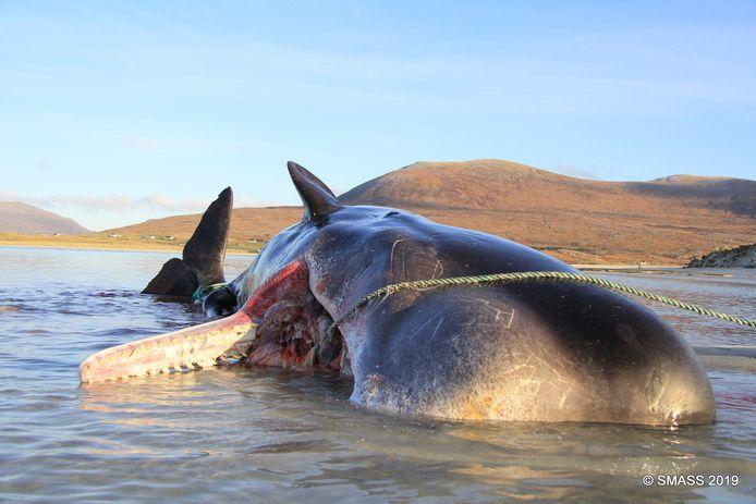 Plus de 930 cas d'échouages de baleines et de dauphins en Écosse ont été signalés en 2018.