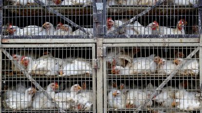 """Groenen trekken naar Hof omdat EU-parlement onderzoek naar dierentransport """"tegenhoudt"""""""