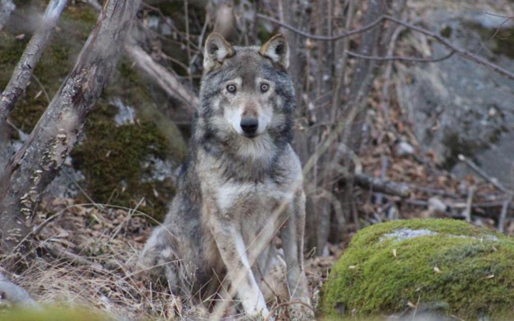 De wolf was in slechte conditie en zocht zelf de omgeving van mensen op.