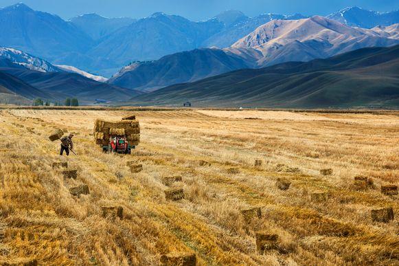 Een Chinese landbouwer haalt zijn oogst binnen in Xinjiang.