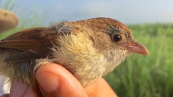 Het uitgestorven vogeltje Jerdons Timalie