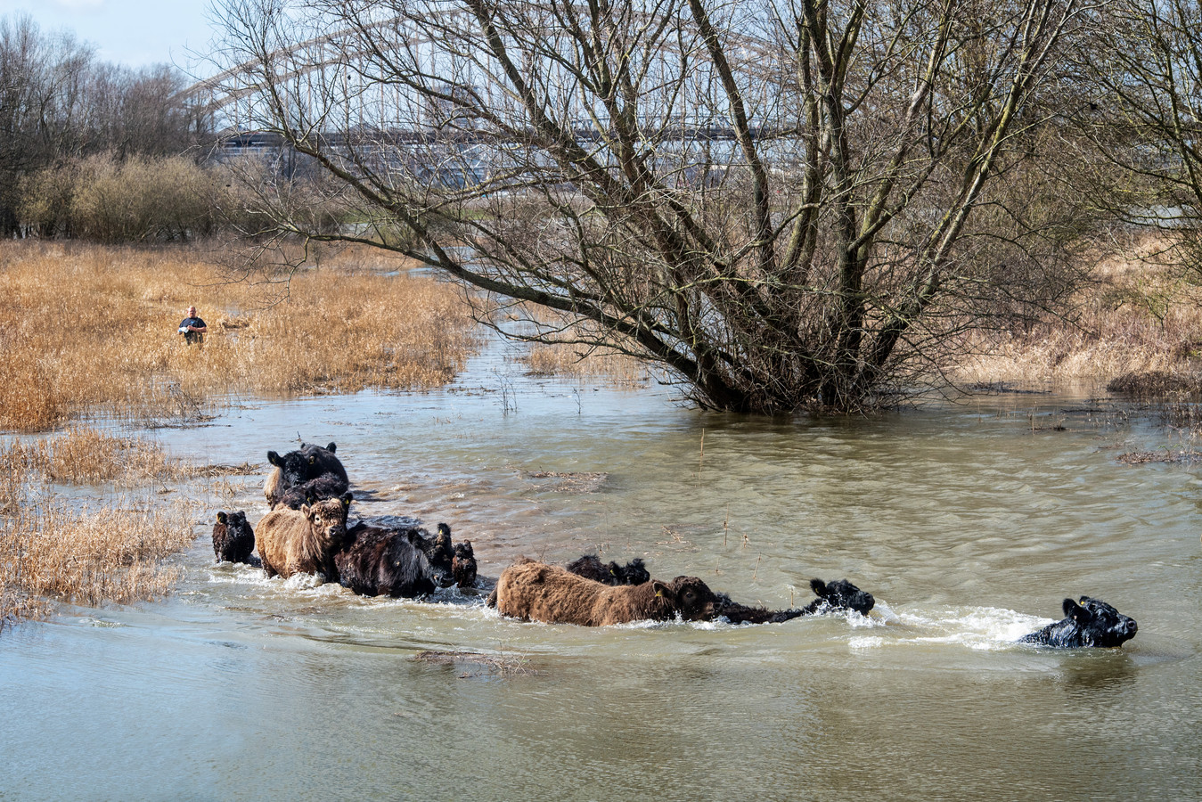 De Galloways zwemmen naar hoger gelegen grond.