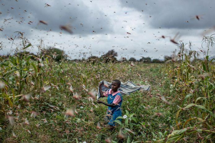 Sprinkhanenplaag in Kenia