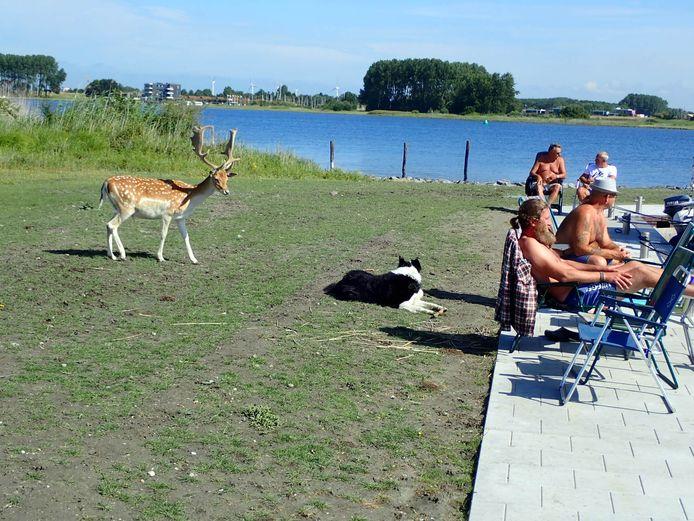 Damhert op de Haringvreter in de zomer van 2019.