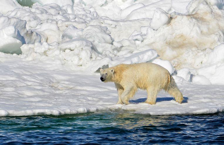 IJsberen worden ernstig bedreigd door de klimaatverandering op de Noordpool.