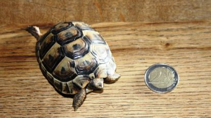 Schildpad van amper 50 gram in tuin gevonden