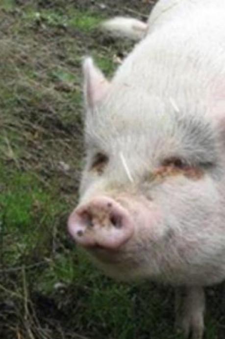 Liefdevol verzorgd zwijntje Molly opgegeten door adoptieouders