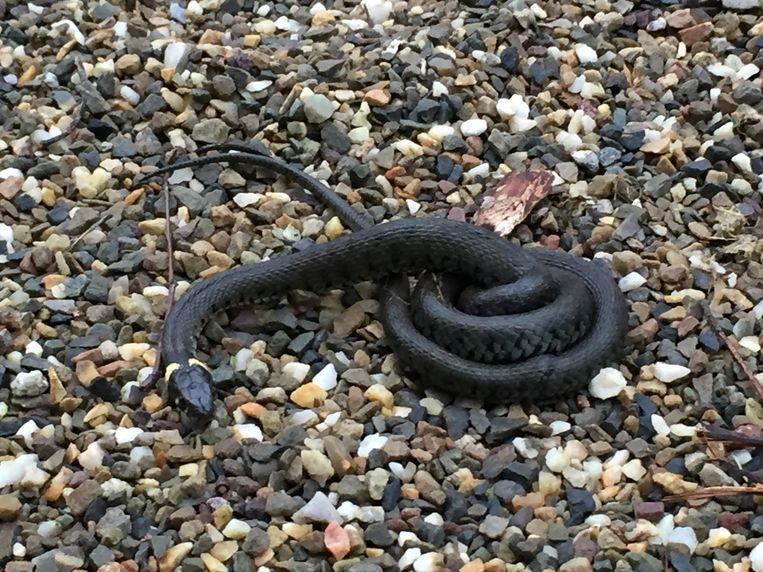 Nog even en slangen leggen in de takkenhopen honderden eieren, die door de broeiwarmte uitkomen. Beeld Arnold Pilon