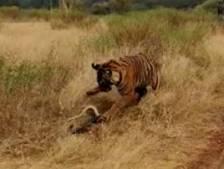 Un tigre curieux tombe sur un python agressif