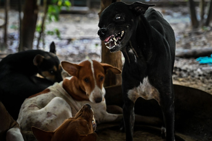 Zwerfhonden worden opgevangen in een dierenopvang in Myanmar, waar rabiës voorkomt en jaarlijks slachtoffers maakt. De opvang is onderdeel van een overheidsprogramma om de ziekte te bestrijden en slachtoffers te voorkomen.