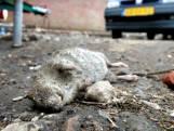 Rattenplaag in Enschedese wijk Twekkelerveld? Bewoners ervaren al jaren overlast
