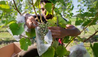 Nederlandse wijnboeren openen de aanval op hun Europese collega's: weg met het koper!