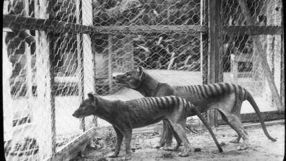 Nooit eerder vertoonde beelden vrijgegeven van Benjamin, de allerlaatste Tasmaanse tijger