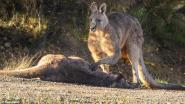 Hartverscheurend: kangoeroe treurt om verlies van vrouwtje en jong na aanrijding