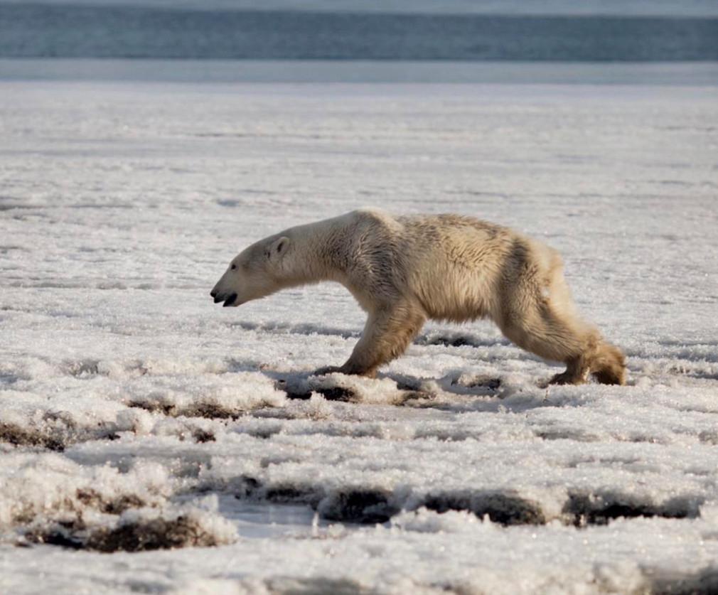 Een ijsbeer in de natuurlijke habitat van het dier dat in Kamtsjatka opdook.