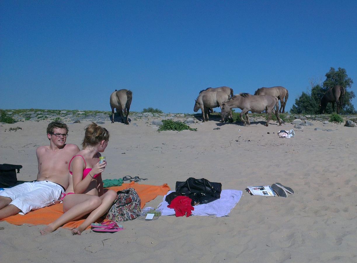 Konikpaarden op het Waalstrand. Foto: Stefan ten Teije/DG