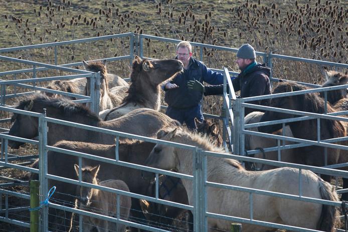 Stichting Free Nature beheert de kuddes in de Loowaard. Twee beheerders proberen de paarden in bedwang te houden tijdens het maken van groepen.