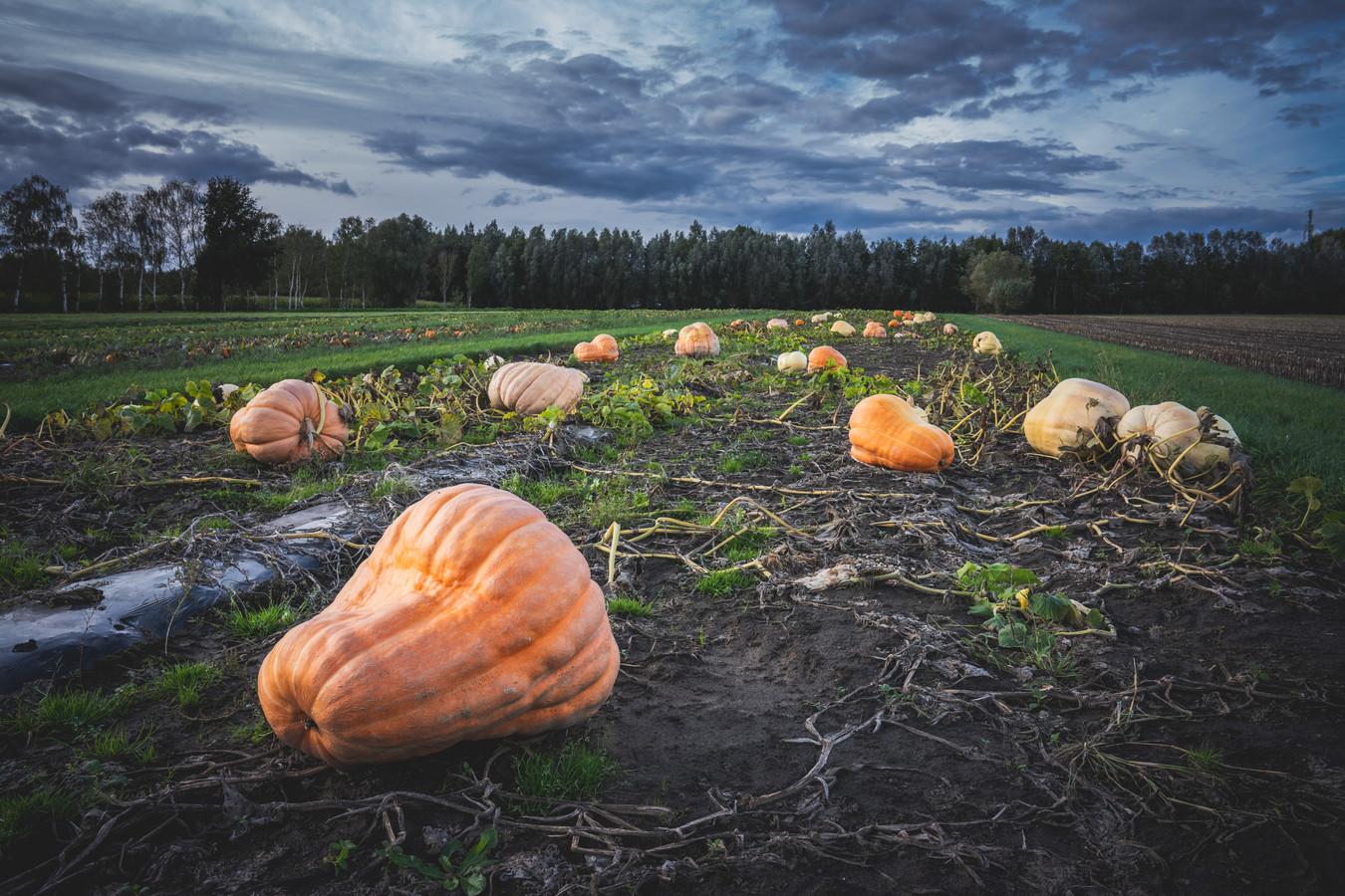 Mathias kweekt behalve reuzenpompoenen ook sierpompoenen, onder meer voor winkels.