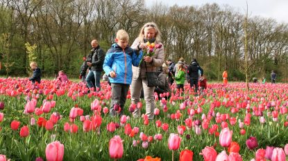 170.000 tulpenbollen gaan in de grond voor Tulpenpluk