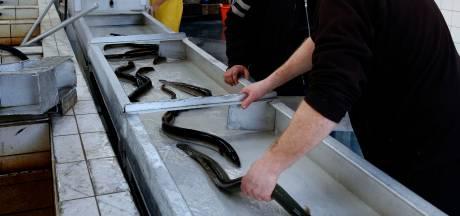 Palingrel in Gorinchem: gemeente serveert toastjes met beschermde diersoort